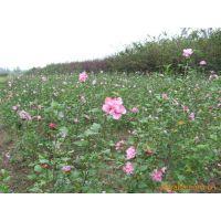 供应花木-木槿,篱障花、白饭花、鸡肉花、朝开暮落花
