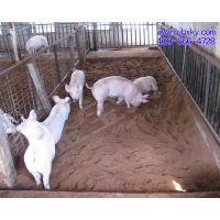 发酵床养猪条件/发酵床养猪成本/发酵床养猪好处/养猪环境/养猪免清粪
