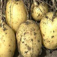 2017年秋季丰收高产太空马铃薯种子品种