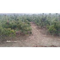 供应荒山造林松树苗大小黑松苗盆景素材苗