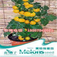 供应花仙子黄珍珠、樱桃、红圣女番茄 种子 庭院种植 四季播种