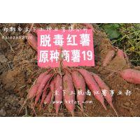 红薯苗地瓜苗基地直供北京地区脱毒红薯苗商薯19淀粉型红薯-邯郸市禾下土供应各品种高代脱毒地瓜苗