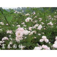 基地直销 供应蔷薇 蔷薇苗 庭院攀援植物 品种齐全 庭院观花月季 欢迎来电