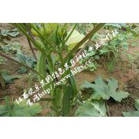 江西欢乐果园供应怎样挑选杨贵妃秋葵营养丰富的蔬菜金秋葵种子