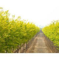 金叶榆 定州金叶榆 金叶榆基地 营养钵金叶榆 高杆金叶榆 矮杆金叶榆