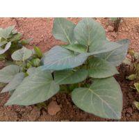 紫薯苗-脱毒紫薯苗山东产地批发