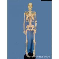 供应厂家供应33204人体骨骼模型 高85CM