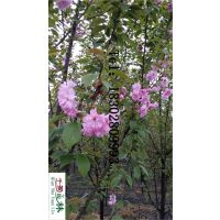 12公分重瓣樱花价格 樱花树产地 高分枝樱花树价格 绿化工程苗木