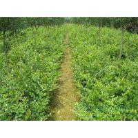 蚊母 全国 量 绿化工程苗 园林 苗圃 苗木配送