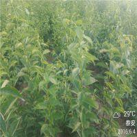 基地直销嫁接梨树苗 黄金梨树苗价格 1米高0.8公分粗晚熟成苗 高产矮化正一园艺场
