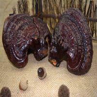 海南三亚破壁灵芝孢子粉厂家批发一斤多少钱康瑞灵芝