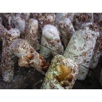 东北鲜香菇批发、辽宁香菇市场批发0912、东北香菇椴木