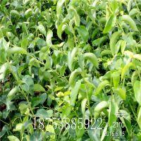 山东基地低价批发梨树苗 嫁接梨树苗价格 折扣销售 品种成苗种植