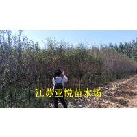 花木种植户2-6公分西府海棠 西府海棠小苗批发 沭阳亚悦供应