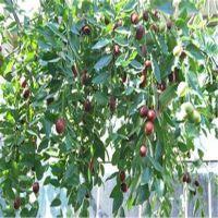 枣树苗的种植介绍 适合大面积推广的嫁接枣树苗品种 冬枣