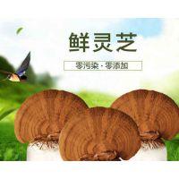 盆景灵芝菌种图片 赤灵芝菌种代理商