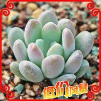 多肉植物 迷你型盆栽 灯美人  景天科仙人类多浆植物 防辐射