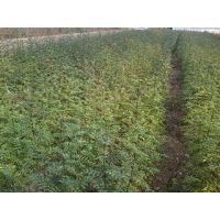 花椒小树苗,哪里出售高产花椒树苗品种