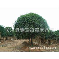 大量供应地径7-8公分的桂花树  丹桂 湖南园林绿化苗木