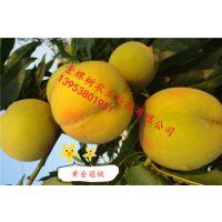 金皇后桃树苗 黄金冠桃树苗品种介绍 黄桃桃树苗