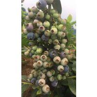 泽西蓝莓苗 低价出售泽西蓝莓苗