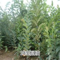 壹棵树农业供应高产抗病的华丰板栗苗 价格低