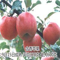 壹棵树 红肉苹果苗 红肉苹果苗基地在哪 厂家销售