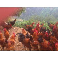 湖北信昌孵化场出售优质土鸡苗及开设散养土鸡技术培训班