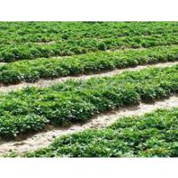土豆种子价格2016马铃薯种子批发