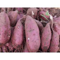 大量出售山东省泗水县地瓜-红薯