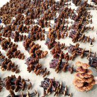 康瑞灵芝盆景养护 灵芝粉品种