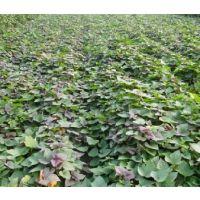 雄县红薯苗 高产优质红薯苗 红薯 红薯苗价格