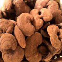 山东泰山赤灵芝近期价格 种植厂家康瑞灵芝