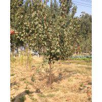 3公分杏树,4公分杏树价格是多少,山东杏树苗产区