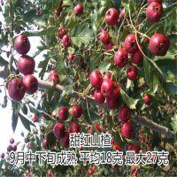 甜红子山楂树苗简介 大量供应甜红子山楂苗
