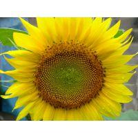 供应观赏向日葵种子景观向日葵种子花海向日葵种子