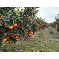 世纪红柑桔|四季红|东方红|美国糖桔|世纪虹|还有什么红?湖南常德柑橘果苗基地