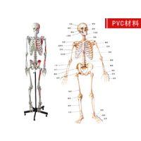 人体骨骼模型 儿童骨骼模型 【解剖模型,教学模型】神经模