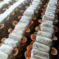 广西常见的灵芝菌种种类 灵芝菌种价格