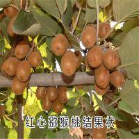 红心猕猴桃苗 高产猕猴桃 价格适中 泰安大地果树园艺场
