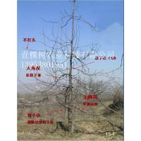 壹棵树 苹果树苗新品种 矮化新品种苹果苗 欢迎选购