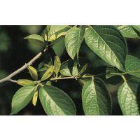 綠原酸98%(杜仲天然提取物),久瑞生物