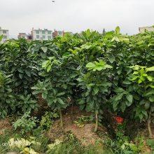 重庆三红蜜柚苗种植基地,三红蜜柚苗哪里有卖13860893847