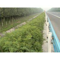 新疆哪里卖绿化树木 喀什绿化树苗供应商