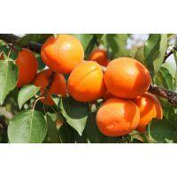 玫瑰香杏树苗 玫瑰香杏树苗价格
