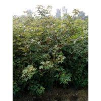 五角枫小苗,1米高五角枫价格,0.8公分五角枫多少钱一株