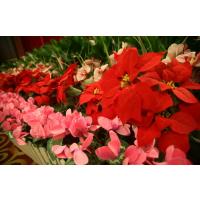 深圳石岩圣诞节摆的花卉盆栽叫什么名字私人定制园林