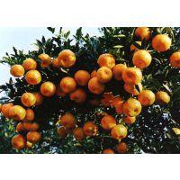 供应供应芦柑(柑橘)