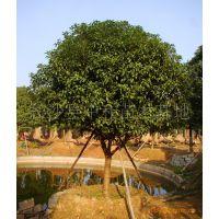 供应湖南特色绿化苗木乔木2----20公分精品桂花 树形美观苗圃直销