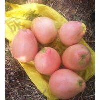 平和三红柚子苗 三红蜜柚苗